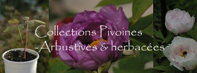collection de pivoines