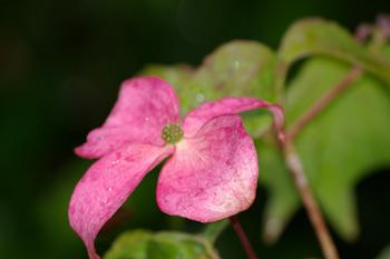 cornus kousa, des fleurs ou des papillons