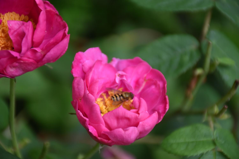biodiversité du jardin: pollinisateurs et oiseaux – le 15 juin 2018