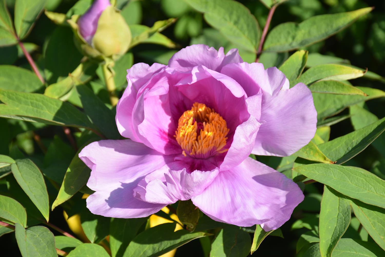 Floraison 2019 des pivoines arbustives du jardin