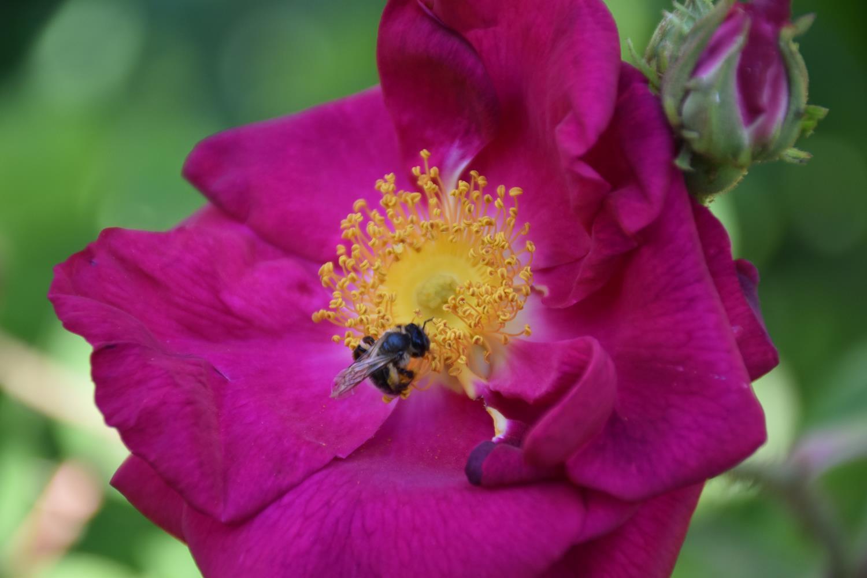 roses de juin