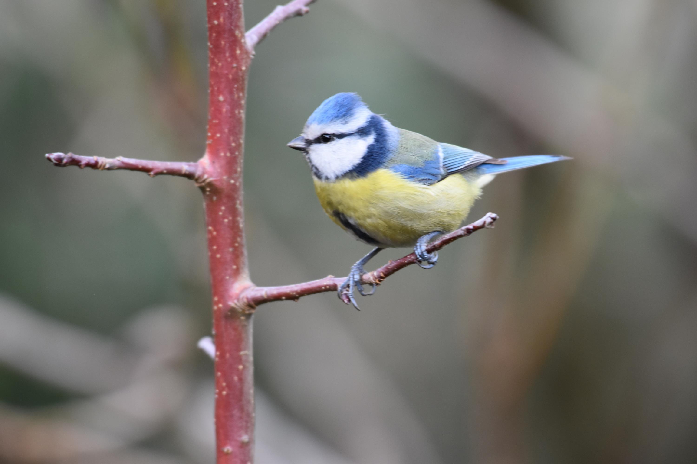 oiseaux du jardin – décembre 2020 – janvier 2021