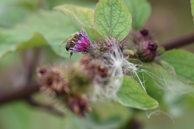 jardins sauvages aux abeilles